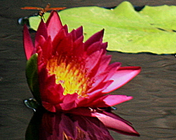'American Beauty' - Red / Magenta Day-Blooming Tropical Waterlily