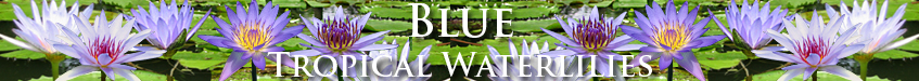 Blue Day-Blooming Tropical Waterlilies from Botanica Aquatica!