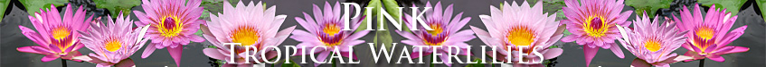Pink Day-Blooming Tropical Waterlilies from Botanica Aquatica!