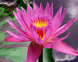 CLICK for more information about 'Evelyn Randig' - Red / Magenta Day-Blooming Tropical Waterlily