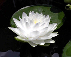 CLICK for more information about 'Gonnere' - White Hardy Waterlily
