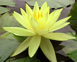 CLICK for more information about 'Sunrise' - Yellow Hardy Waterlily
