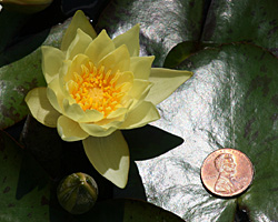 CLICK for more information about 'Helvola' - Yellow Hardy Waterlily
