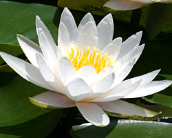 CLICK for more information about 'Hermine' - White Hardy Waterlily
