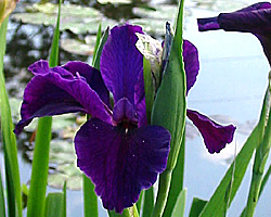 IRIS - Early spring color for your pond