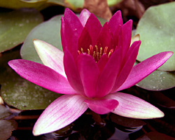 CLICK for more information about 'Laydekeri Fulgens' - Red Hardy Waterlily
