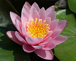 CLICK for more information about 'Luciana' - Pink Hardy Waterlily