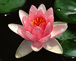 CLICK for more information about 'Masaniello' - Pink Hardy Waterlily