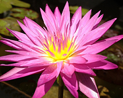 'Miami Rose'  - Pink Day-Blooming Tropical Waterlily