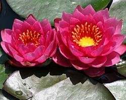 CLICK for more information about 'James Brydon' - Red Hardy Waterlily