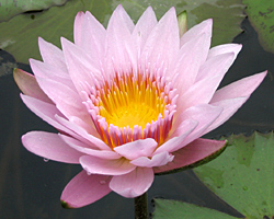 'Pink Platter' - Pink Day-Blooming Tropical Waterlily