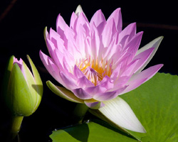 CLICK for more information about 'Pink Pearl' - Pink Day-Blooming Tropical Waterlily