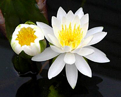 CLICK for more information about 'Queen of Whites' - White Hardy Waterlily