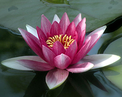 CLICK for more information about 'Sirius' - Red Hardy Waterlily