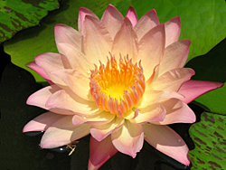 'Albert Greenberg' - Sunset / Rosy-Yellow Day-Blooming Tropical Waterlily