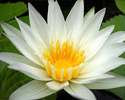 CLICK for more information about 'Alice Tricker' - White Day-Blooming Tropical Waterlily