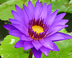 CLICK for more information about 'Director George T. Moore' - Purple Day-Blooming Tropical Waterlily
