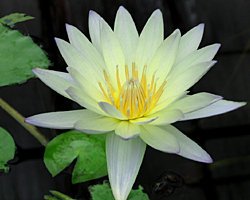 'Green Smoke' - Green Day-Blooming Tropical Waterlily