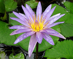 'Islamorata' - Blue Day-Blooming Tropical Waterlily