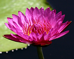 CLICK for more information about 'Jack Wood' - Red / Magenta Day-Blooming Tropical Waterlily