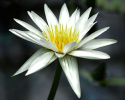 'Josephine' - White Day-Blooming Tropical Waterlily