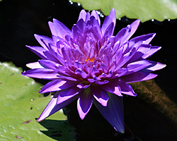 'Midnight' - Blue Day-Blooming Tropical Waterlily