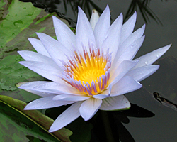 CLICK for more information about 'Pamela' - Blue Day-Blooming Tropical Waterlily