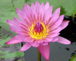 CLICK for more information about 'Persian Lilac' - Pink Day-Blooming Tropical Waterlily