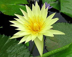 CLICK for more information about 'St. Louis' - Yellow Day-Blooming Tropical Waterlily