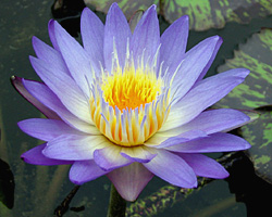 'Star of Siam' - Blue Day-Blooming Tropical Waterlily