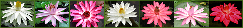 CLICK to go to NIGHT-BLOOMING TROPICAL WATERLILIES