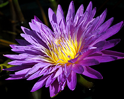 'Ultra Violet' - Purple Day-Blooming Tropical Waterlily