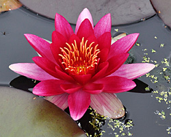 CLICK for more information about 'Vesuve' - Red Hardy Waterlily