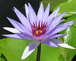 CLICK for more information about 'Wood's Blue Goddess' - Blue Day-Blooming Tropical Waterlily
