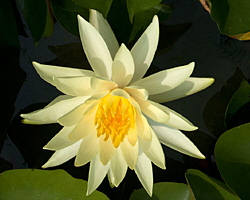 CLICK for more information about 'Pygmy Mexicana' - Yellow Hardy Waterlily