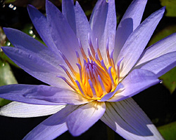 'Pennsylvania' - Blue Day-Blooming Tropical Waterlily