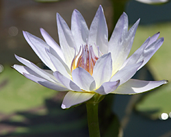 CLICK for more information about 'Blue Smoke' - Blue Day-Blooming Tropical Waterlily