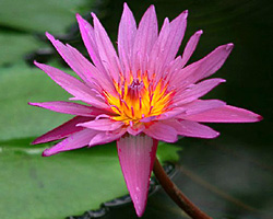 CLICK for more information about 'Pink Capensis' - Pink Day-Blooming Tropical Waterlily