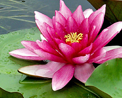 CLICK for more information about 'Splendida' - Red Hardy Waterlily