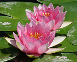 CLICK for more information about 'Sumptuosa' - Pink Hardy Waterlily