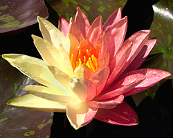 CLICK for more information about 'Wanvisa' - Pink Hardy Waterlily